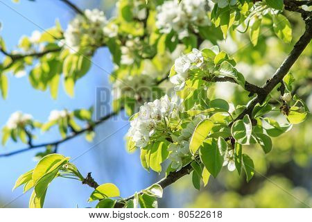 Pear-tree In Spring Season.