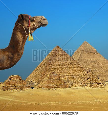 Camel in front of pyramid at Giza Cairo in Egypt