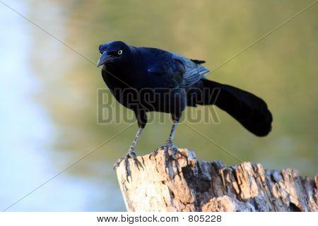 Black Bird on a Tree Stump