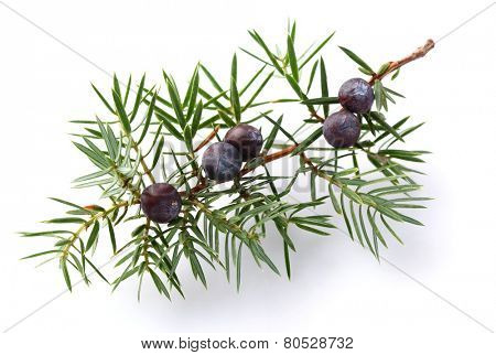 Juniper twig with berry