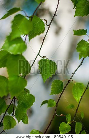 Birch Branches Green Leafs