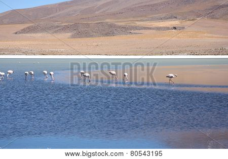 Wild flamingos in the lagoon of Bolivian Andes