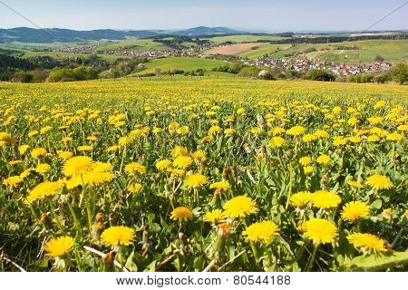 Spring Time And Meadow With Common Dandelion