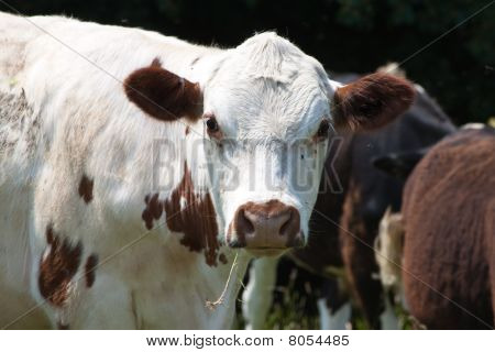Portrait Of A Cow Chewing Grass