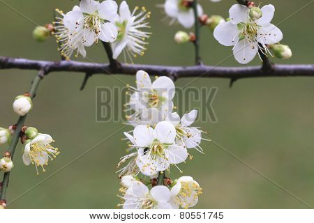 Plum flowers,Flowering plum