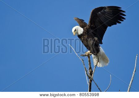 Bald Eagle Hunting From The Tree Top