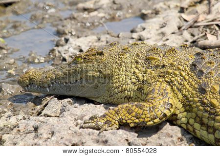 Young Crocodile Near The Water