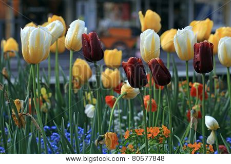 Yellow And Purple Tulips With Water Drops