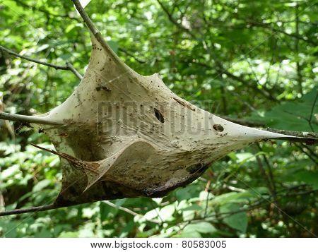 Gypsy Moth Cocoon