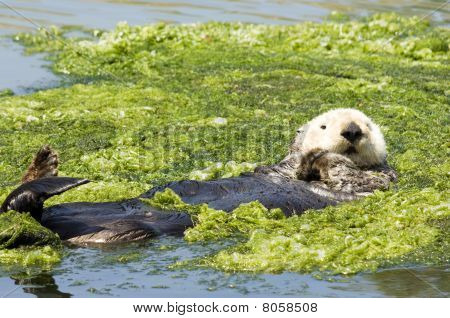 Sea Otter in Green Algea