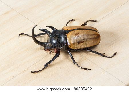 Yellow Five Horned Beetle