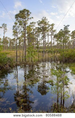 Reflection Of The Tropical Trees In The Swamp Of Everglades