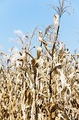 stock photo of drought  - image of drought corn field outdoor background - JPG