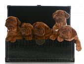 foto of dogue de bordeaux  - litter of puppies  - JPG