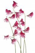 stock photo of sweet pea  - Studio Shot of Red Colored Sweet Pea Flowers Isolated on White Background - JPG