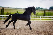 stock photo of wild horse running  - Running frisian horse in the open manege - JPG