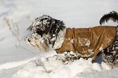picture of schnauzer  - Miniature schnauzer in leather jacket playing on the snow - JPG