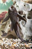 foto of catfish  - Aquarium Catfish Hypostomus plecostomus rests at bottom of aquarium - JPG