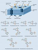 pic of lipids  - picture of cell membrane structure with also phospholipides formulas - JPG