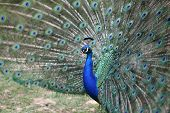 foto of indian peafowl  - Details of a Indian peafowl during courtship - JPG
