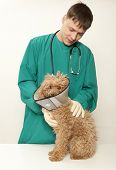 picture of vets surgery  - Vet examining an red toy poodle - JPG