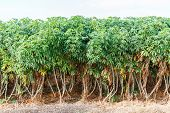 stock photo of cassava  - Cassava plantation and harvest in north eastern of Thailand - JPG