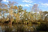 picture of bayou  - cypress trees with Spanish moss along bayou in south Louisiana - JPG