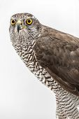 foto of merlin  - Brown hawk portrait isolated on white background - JPG