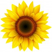 stock photo of sunflower  - Sunflower - JPG
