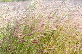 stock photo of fountain grass  - Close up fountain grass against sunlight in field - JPG