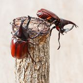 foto of siamese  - Close up fighting beetle or Siamese rhinoceros on small log