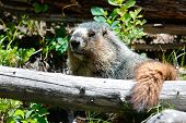 foto of groundhog  - A yellow bellied marmot resting on a log - JPG