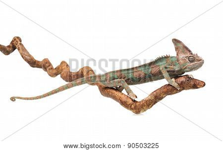 Greenish Brown Chameleon Straightened On Branch