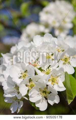 Flowers Blossomed Pear