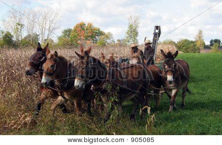 Amish Ernte