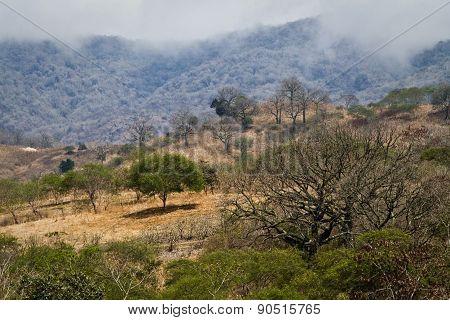 Beautiful landscape of ceiba trees dry forest in Manabi, Ecuador