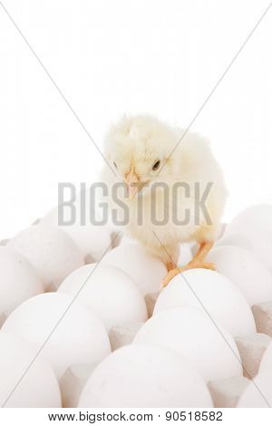 cute little baby chicken on white eggs over gray tray isolated over white background