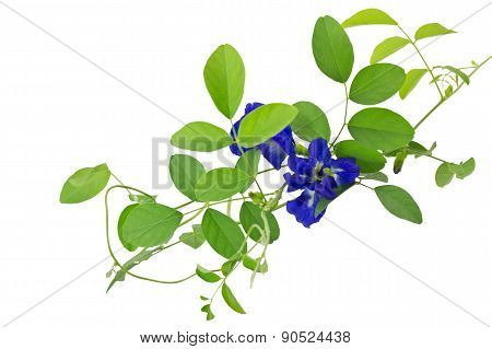 'Butterfly Pea' Plant