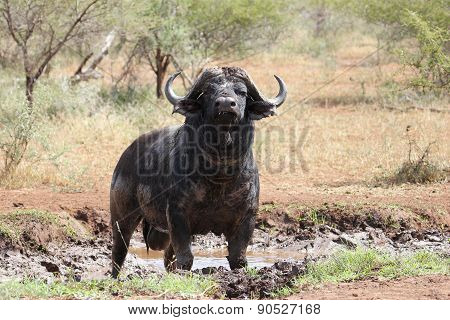 Buffalo Bull enjoying a mud bath