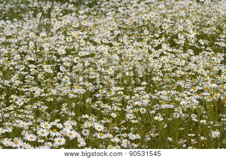Meadow Of German Chamomile