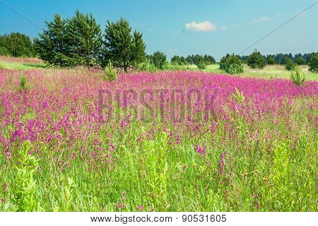 Rural Landscape With The Blossoming Pink Flowers On A Meadow