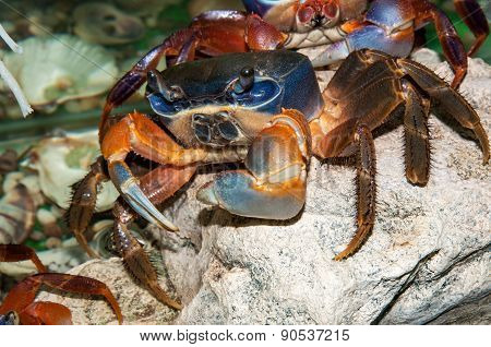 Rainbow Crab Or Cardisoma Armatum