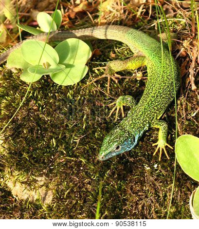 Green And Blue Lizard On Moss