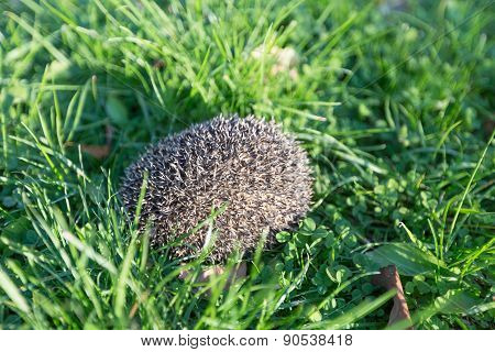 Little hedgehog