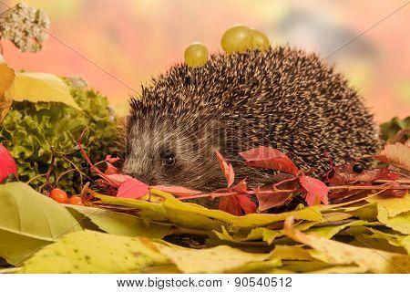 Hedgehog with grapes closeup