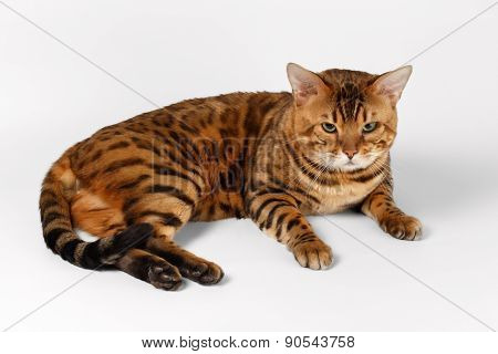 Bengal Cat on White background and Looking in camera