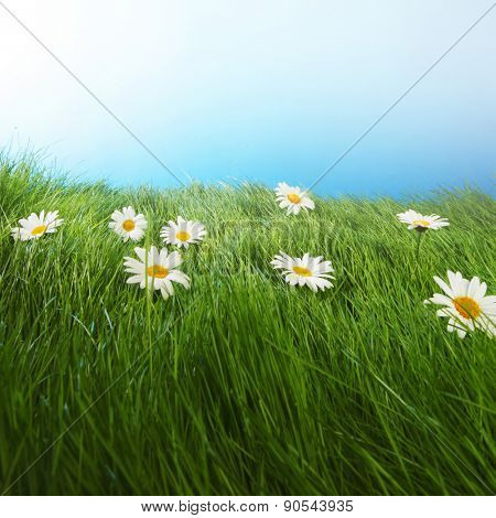 Beautiful fresh chamomiles  in grass, blue sky on background