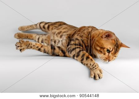 Bengal Cat on White background and raising Paw