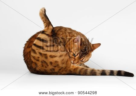 Bengal Cat on White background, licked himself ass