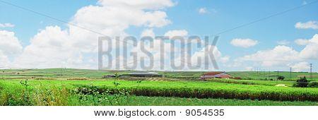 Panoramic sugar cane landscape